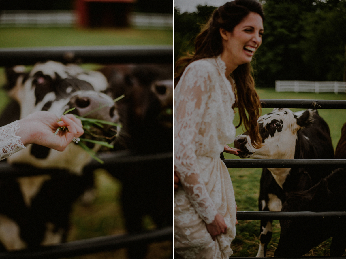 cows with bride
